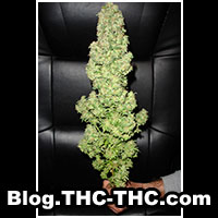 blog thc