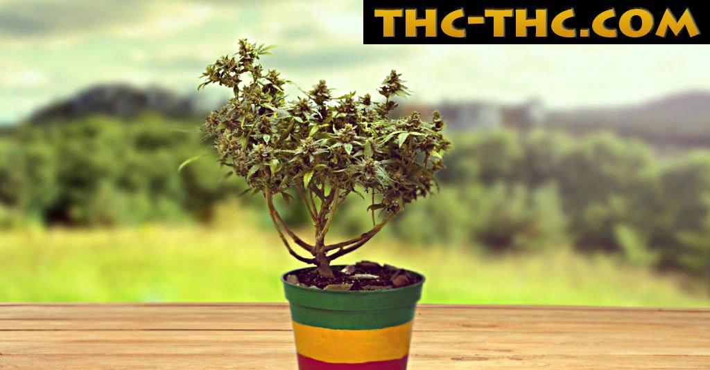 drzewko, marihuany, bonsai