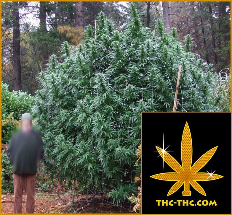 Big, Outdoor, Nasiona Marihuany, Nasiona Konopi, THC-THC