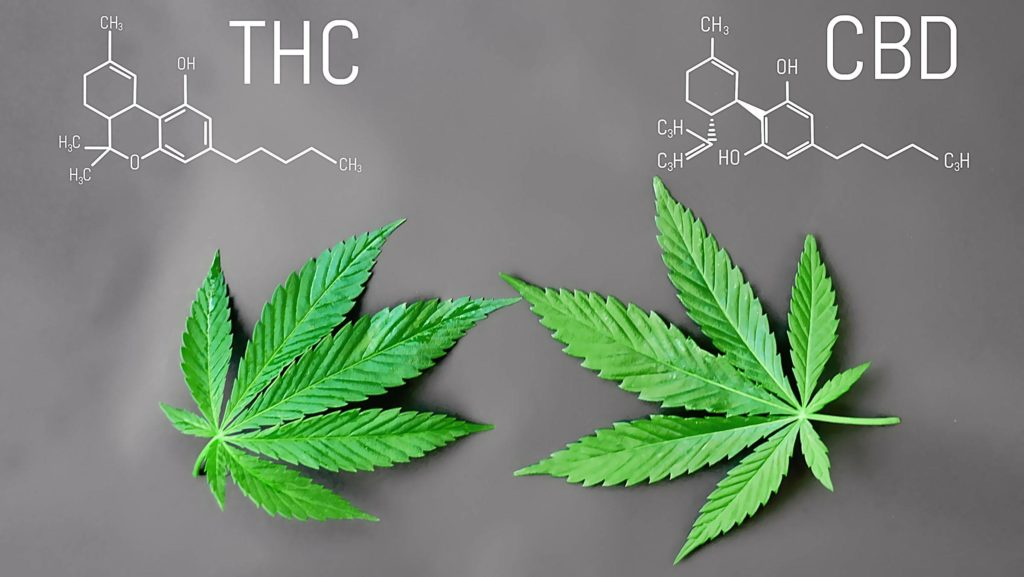 CBD, CB1, CB2, THC, Kannabinoidy, Cannabidiol, Endokannabinoidowy, Ludzi, Ludzkim, Organizm, Organizmem, Nie Zawodny, Połączenie, Połączeniu
