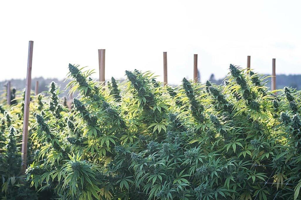 plantacja roślin konopi indyjskich outdoor