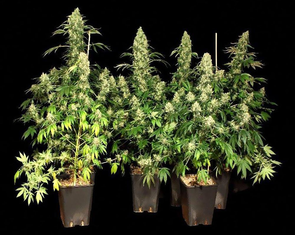 Odmianie, Nasiona Marihuany, Charakterystyka, Ak-47