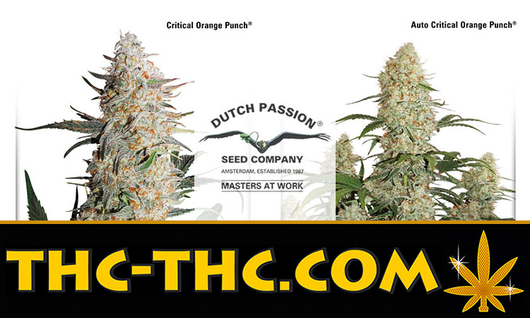 Nasiona Marihuany, Nasiona Konopi, Critical Orange Punch, Auto Critical Orange Punch, Dutch Passion