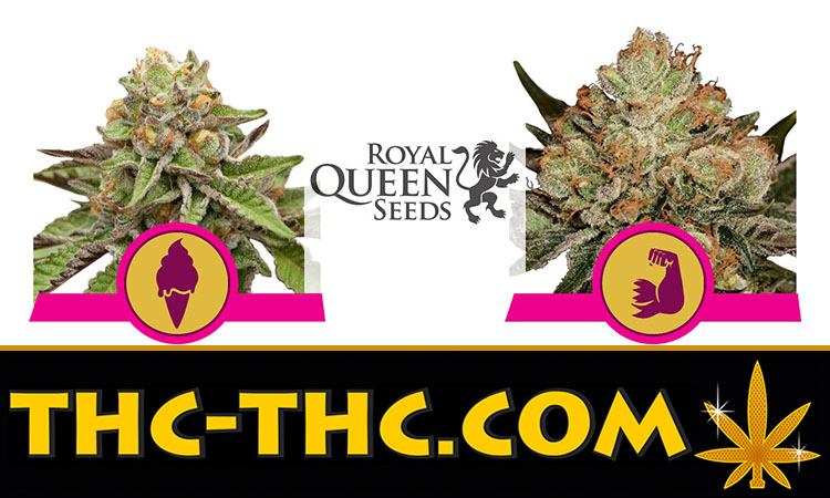 Nasiona Marihuany, Nasiona Konopi, Green Gelato, HulkBerry, Royal Queen Seeds