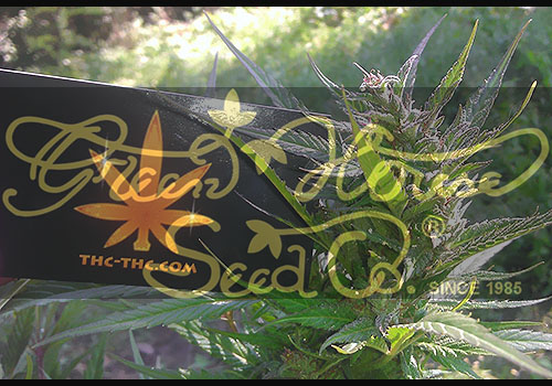 reen house seeds, nasiona marihuany, nasiona konopi, sklep