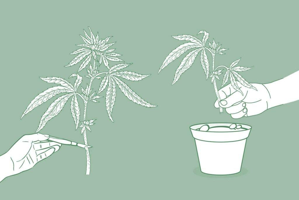 jak klonować konopie indyjskie, klony roślin marihuany