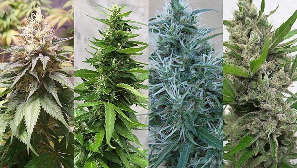 Klasyczne, Odmiany, Nasiona, Konopi, Marihuany, Dutch Passion, Indoor, Do Domu, Euforia, Orange Bud, Power Plant, White Widow