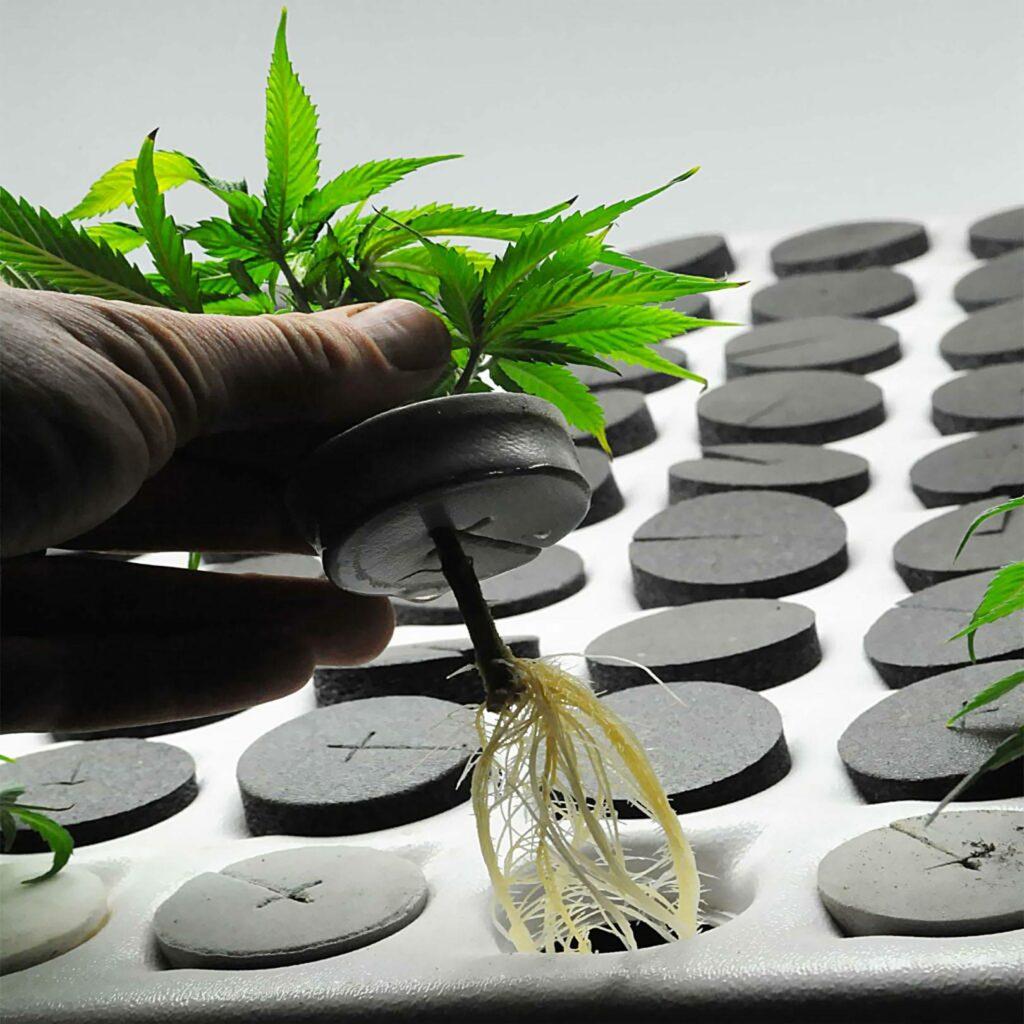 klonowanie roślin konopi indyjskiej, zalety i wady klonów z marihuany