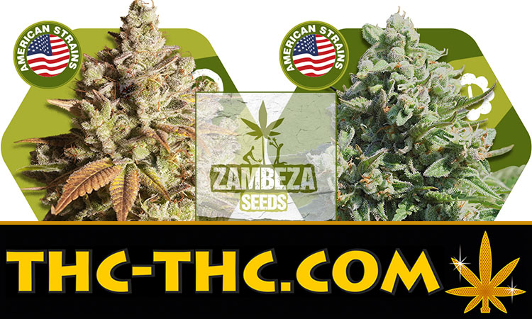 misty gorilla, automatic, autoflowering, pełnosezonowa, american, strains