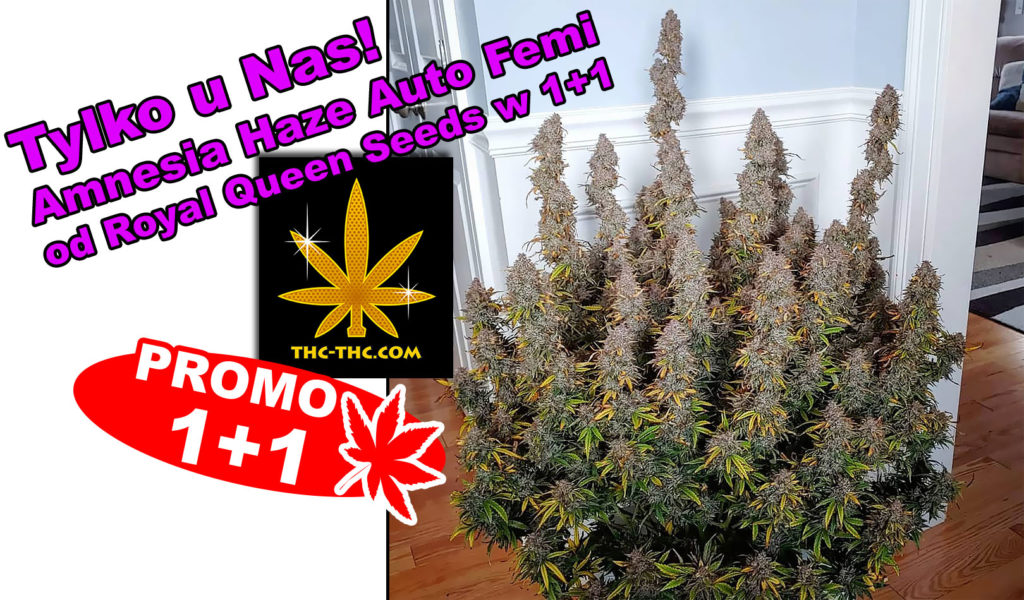 Nasiona Marihuany, Nasiona Konopi, Amnesia, Amnesia Haze, Amnesia Haze Automatic, Feminizowane, Royal Queen Seeds, RQS