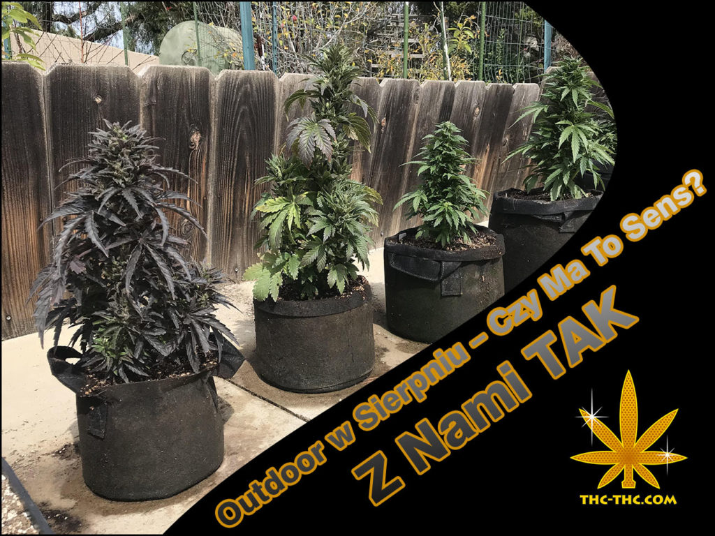 Outdoor, Sierpniu, Auto Chronic, Auto Lowryder#2, Auto Pilot XL, Bubble Kush Automatic, Easy Bud Automatic, Gold Mery Automatic, Quick One Automatic, Royal Dwarf Automatic, Feminizowane, Autoflowering, Szybkie Automaty, SeedBay, Royal Queen Seeds, Akseeds