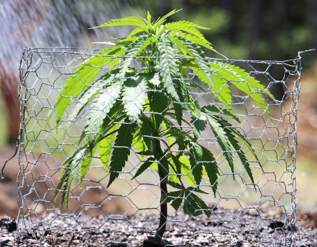 Podstawy, Uprawy, Hodowli, Marihuany, Konopi Indyjskich, Cannabis, Na Dworze, Outdoor