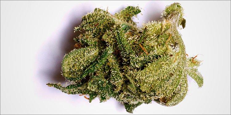 Blue Cheese, Nasiona Konopi, Nasiona Marihuany, Odmiana, Odmiany, Recenzja