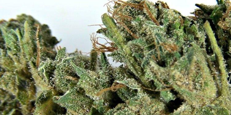 Flowerbomb Kush, Nasiona Konopi, Nasiona Marihuany, Odmiana, Odmiany, Recenzja