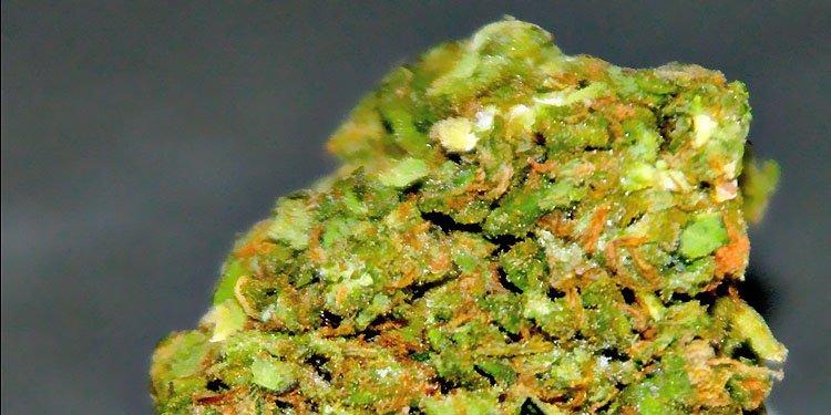 Grapefruit, Nasiona Konopi, Nasiona Marihuany, Odmiana, Odmiany, Recenzja