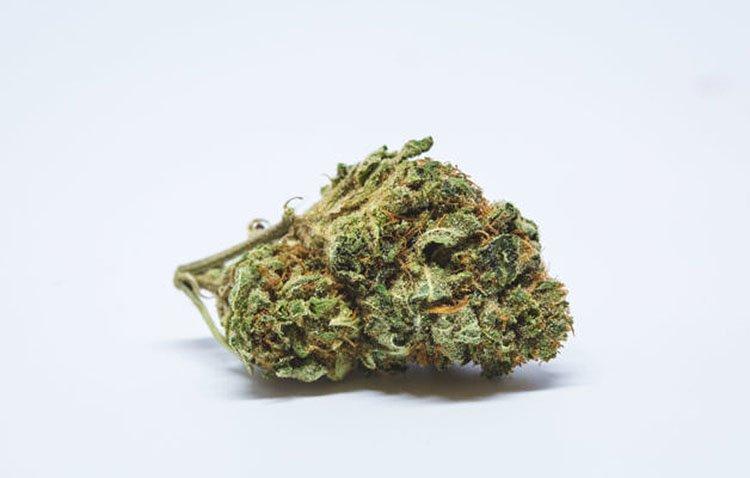 Jack Herer, Nasiona konopi, Nasiona marihuany, Odmiana, Odmiany, Recenzja