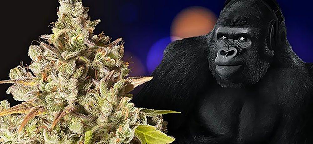 Recenzja, Nasiona Marihuany, Odmiany Konopi, Royal Gorilla Feminizowane, Royal Queen Seeds