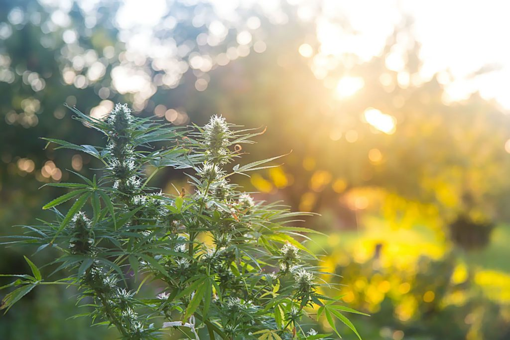 Uprawa, Hodowla, Konopi Indyjskich, Marihuany, Outdoor, Na Dworze, Na Zewnątrz, Szklarni, Ziemi, Doniczkach