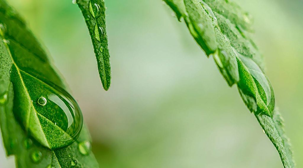 Woda, Jaka Woda, Podlewania, Podlewanie, Nawadnianie, Uprawy Marihuany, Uprawa Konopi, Roślin Marihuany